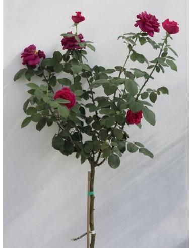 papa meiland róze pienne