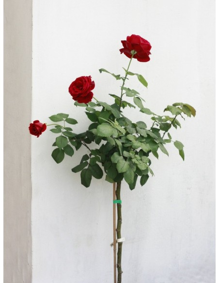 pienne róże papa meiland