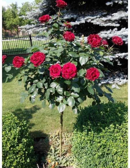 barbara czarne róże pienne
