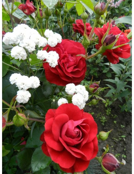 róże na rabaty Nina