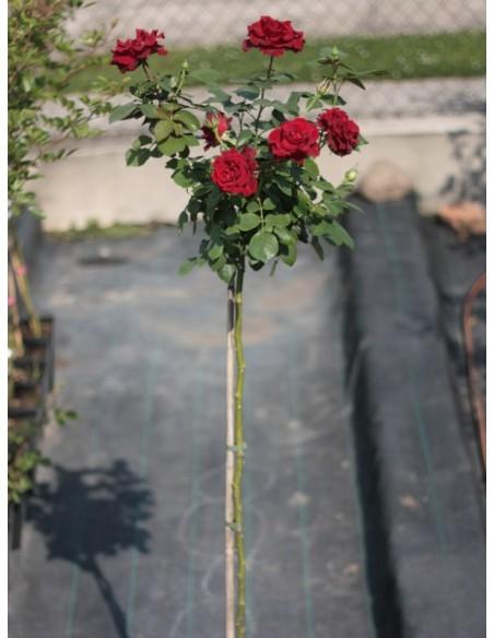 barbara pienne róże