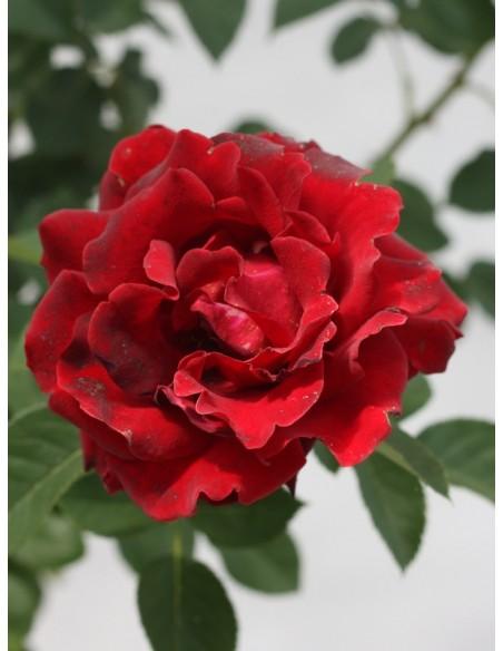 barbara czarne roze pienne