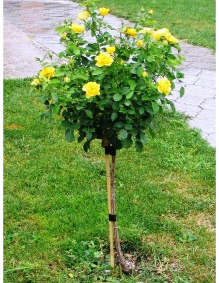Korresia róże pienne Gl 1.jpg