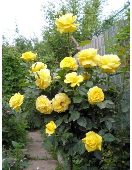 żółte róże pienne Korresia
