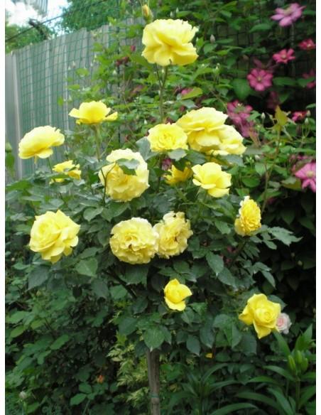 róże pienne Korresia
