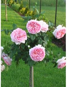 angielskie róże pienne Candy Rain