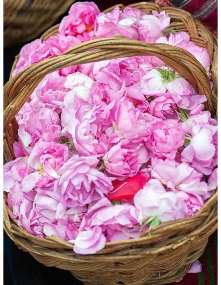 historyczne róże damasceńskie Kazanlik