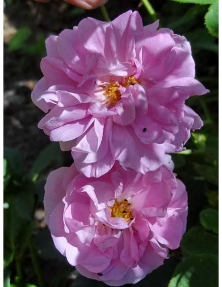 damasceńskie historyczne róże Kazanlik