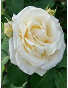 róża chopin wielkokwiatowa