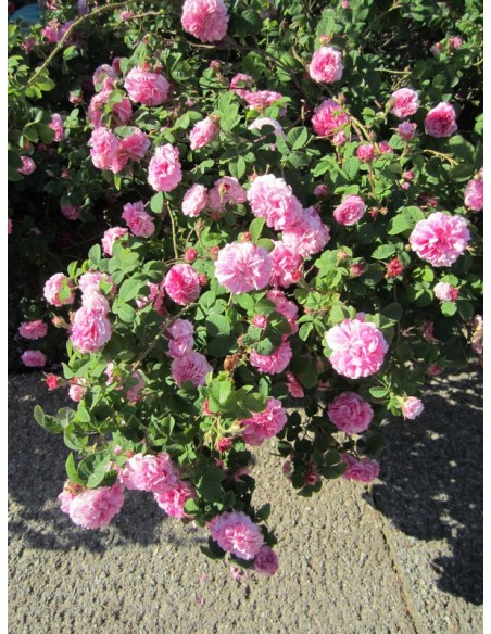 historyczne damasceńskie róże Kazanlik
