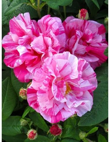 Versicolor Róże historyczne