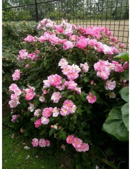 Róże historyczne Versicolor