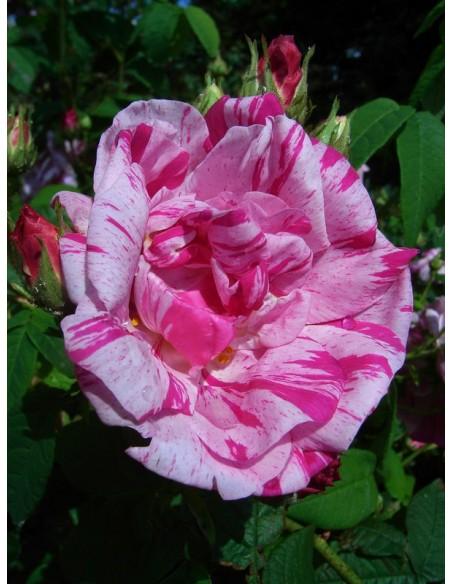 historyczne róże Versicolor