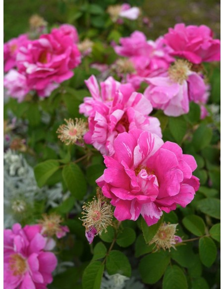 Versicolor historyczne róże