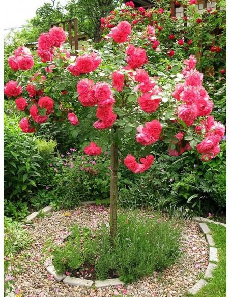 roza rosarium