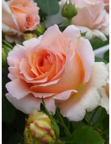 Polka róże pnące