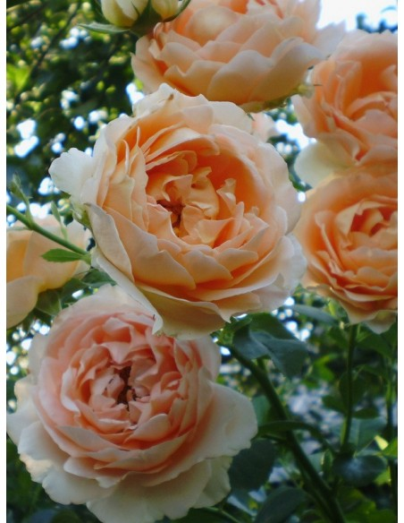Polka róże pnące brzoskwiniowo - łososiowe