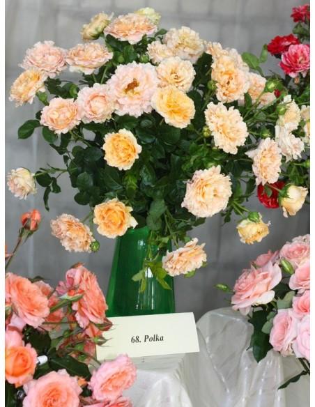 róże pnące Polka