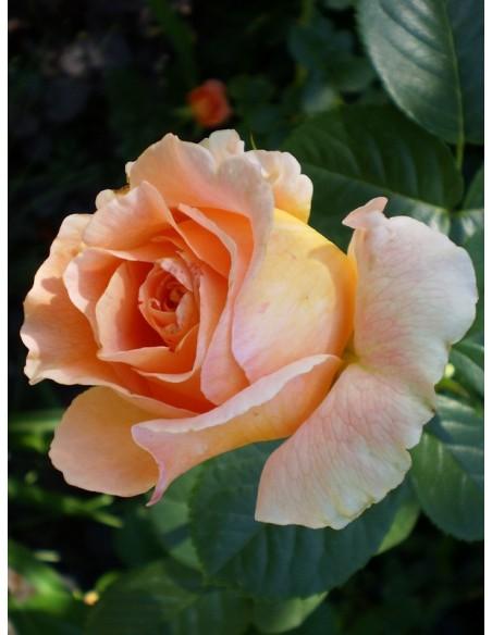 pnące róże Polka