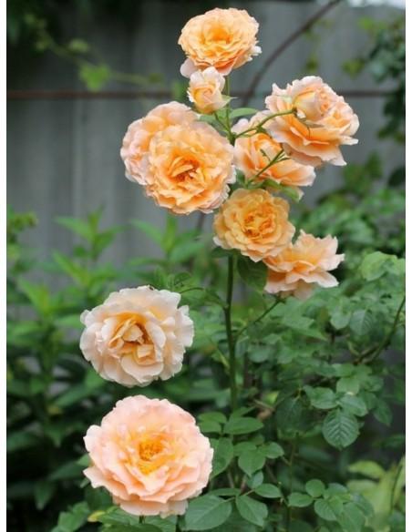 Polka pnące róże