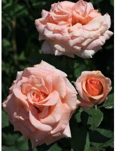 Warm Wishes róże wielkokwiatowe