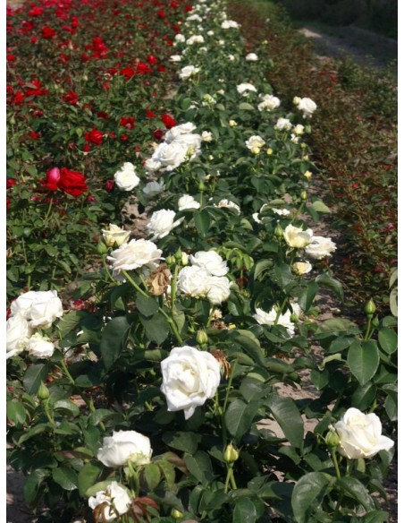 Chopin róże wielkokwiatowe