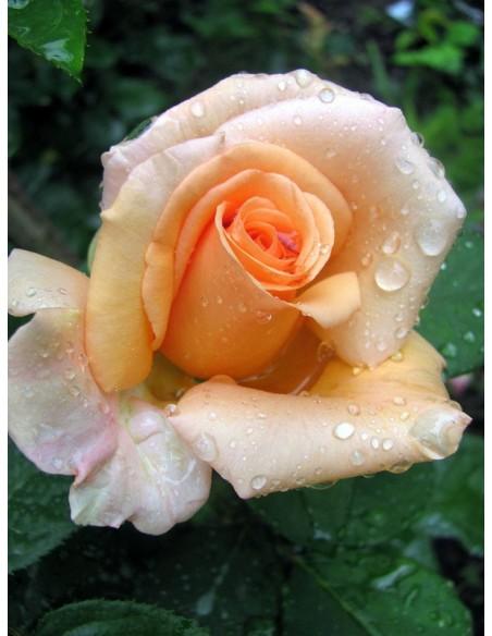 Warm Wishes łososiowe róże wielkokwiatowe