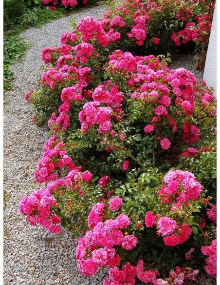 Heidetraum róże okrywowe