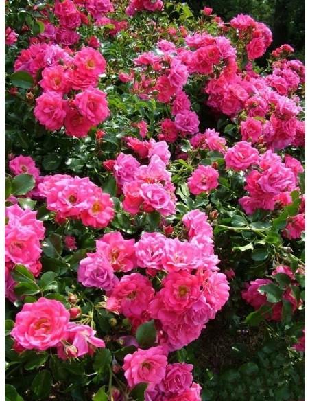 róże okrywowe Heidetraum