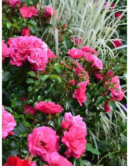 Heidetraum okrywowe róże