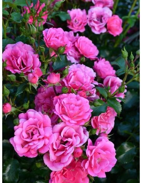 okrywowe róże Heidetraum