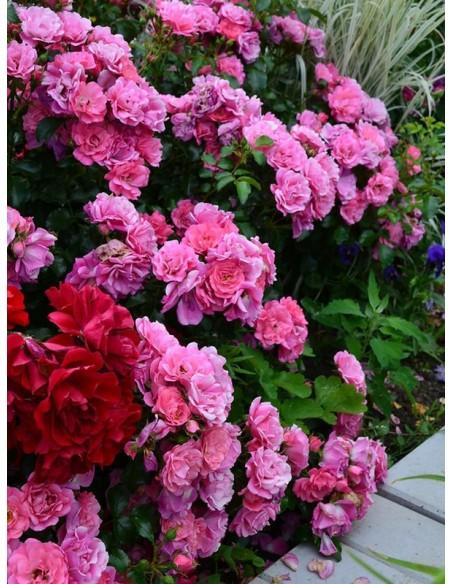 odporne róże okrywowe Heidetraum
