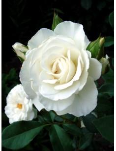 białe róże rabatowe Kristall