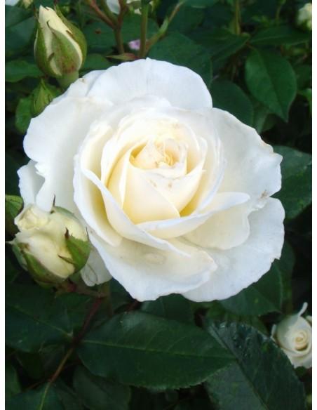 Kristall róże rabatowe