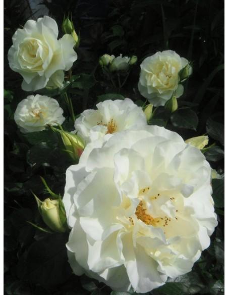 Kristall rabatowe białe róże
