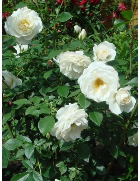 Kristall białe róże rabatowe