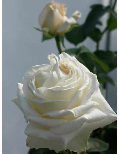 Chopin róża wielkokwiatowe