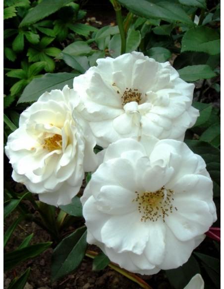 Kristall róże rabatowe białe