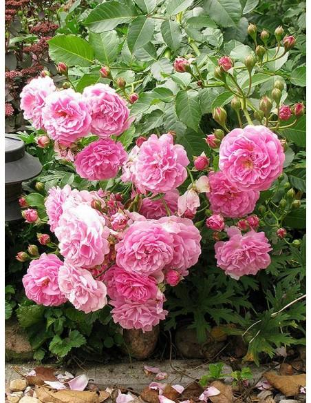 róże parkowe Lavender Lassie