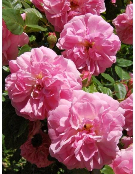 Lavender Lassie róże parkowe