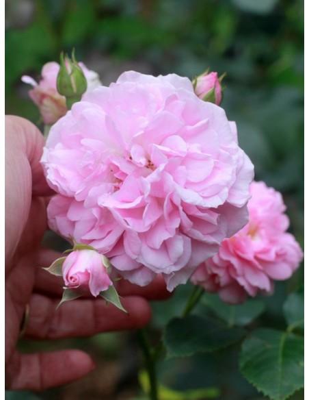 Lavender Lassie róże krzaczaste