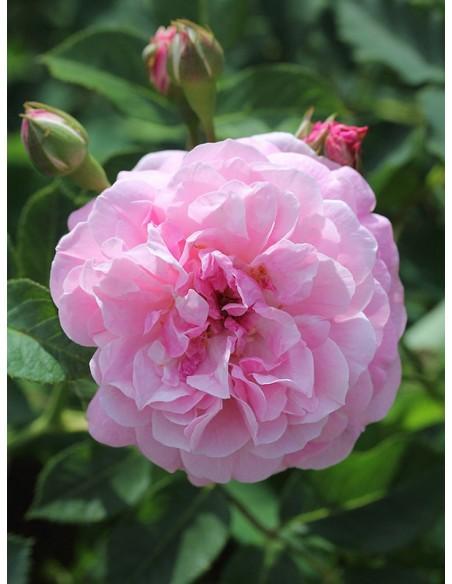 róże krzaczaste Lavender Lassie