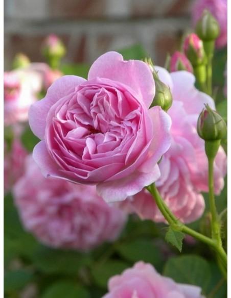 Lavender Lassie różowe róże krzaczaste