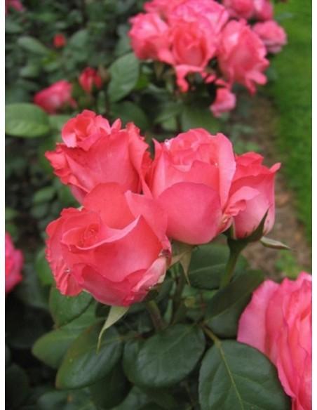 Aachener Dom róże wielkokwiatowe