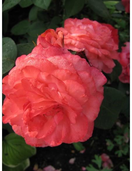 róże wielkokwiatowe Aachener Dom