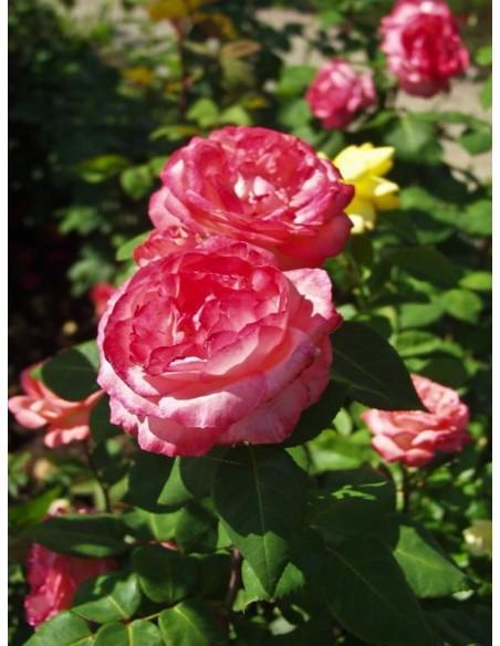 Aachener Dom wielkokwiatowe róże
