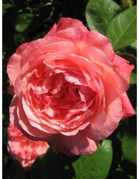wielkokwiatowe róże Aachener Dom