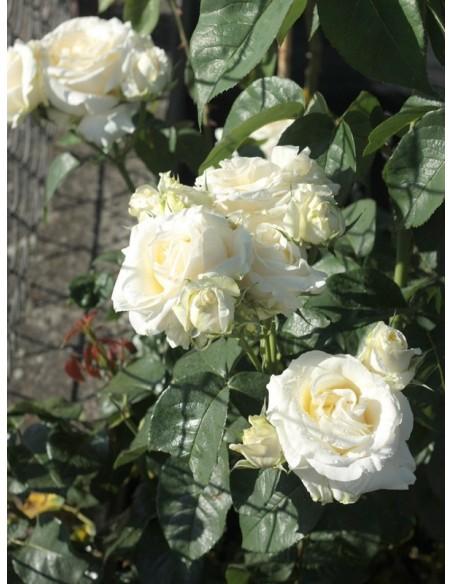 białe róże wielkokwiatowe Chopin