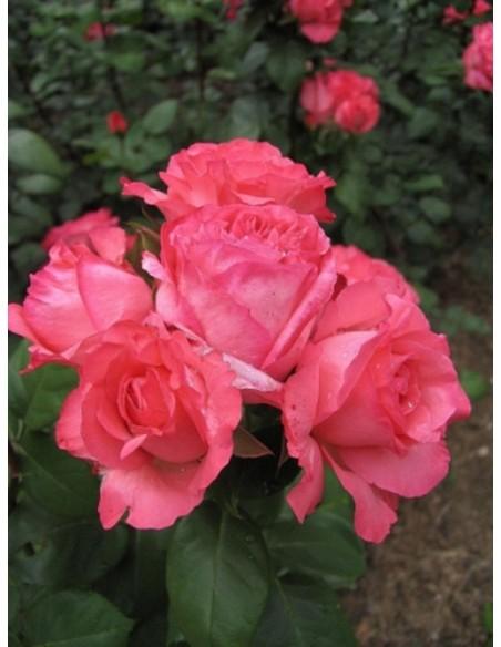 Aachener Dom odporne róże wielkokwiatowe
