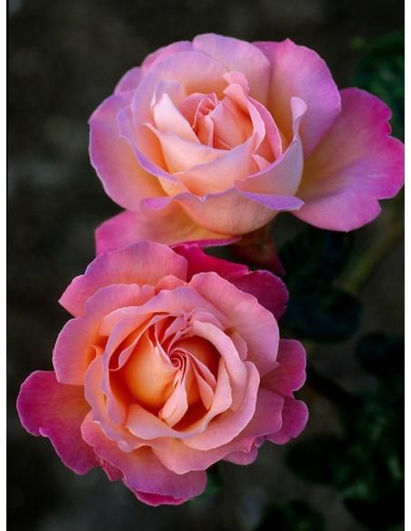 Chicago Peace róże wielkokwiatowe